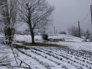 Les lavandes sous la neige