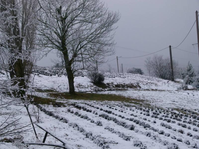 Sous la neige, la lavande